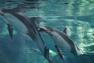 水の中を泳ぐイルカの写真・画像素材[3692205]