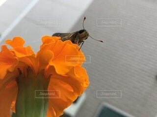 セセリチョウがこちらを見ているの写真・画像素材[3693301]