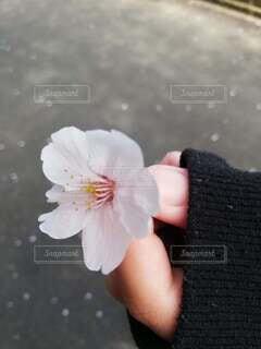 桜を持つ手の写真・画像素材[3693614]