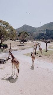 キリンのグループの写真・画像素材[3702488]