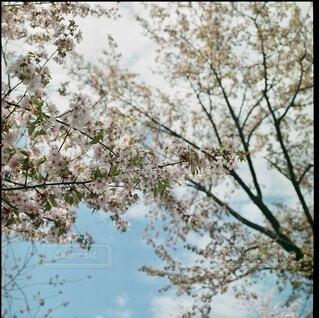 桜の写真・画像素材[3698942]