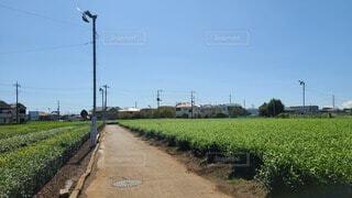 茶畑の写真・画像素材[3732518]