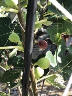 いちじくの木の写真・画像素材[3708034]