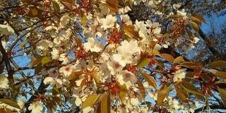 ヤマザクラの花の写真・画像素材[3701409]