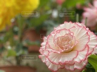 花のクローズアップの写真・画像素材[3699465]