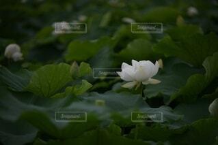 水面のハスの花の写真・画像素材[3699917]