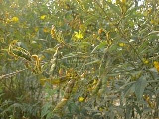 豆の木のクローズアップの写真・画像素材[3804332]