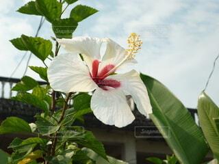 庭に植えられたハイビスカスのクローズアップの写真・画像素材[3952759]
