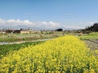 菜の花畑と川の写真・画像素材[4020859]