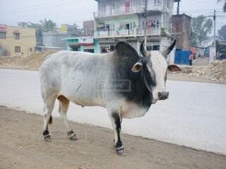 道路脇にたたずむ牛の写真・画像素材[4055052]