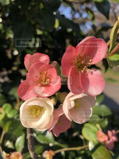 公園にあるボケの花のクローズアップの写真・画像素材[4116803]