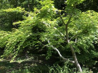 緑豊かなな森の中にあるもみじの木の写真・画像素材[4352949]