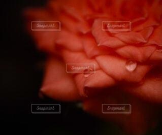 Little rose tearsの写真・画像素材[3721167]