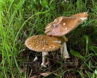 Couple mushroomsの写真・画像素材[3721277]