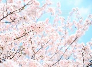 晴れた日の桜の枝木の写真・画像素材[3713424]