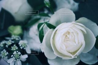薔薇の花のクローズアップの写真・画像素材[3821343]