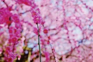 レトロな枝垂れ桜のクローズアップの写真・画像素材[3821509]