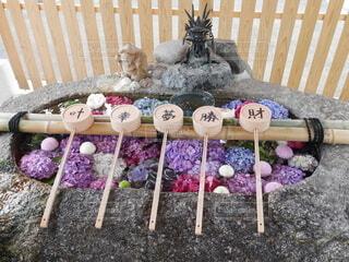 手水舎の紫陽花の写真・画像素材[3708820]