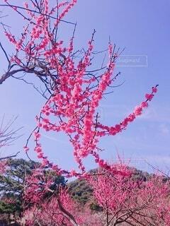 梅の花の写真・画像素材[3710427]