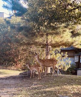 鹿の親子の写真・画像素材[4771959]