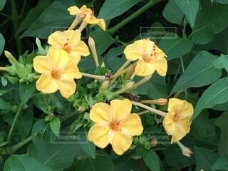散歩道に咲く黄色い花のクローズアップの写真・画像素材[3716796]