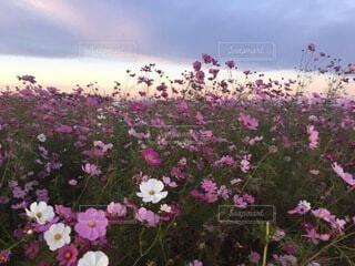 夕焼け空に秋桜の写真・画像素材[3772776]
