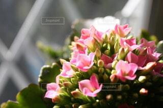 窓際のピンクのカランコエの写真・画像素材[4181615]