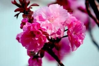 桜の花のクローズアップの写真・画像素材[4192545]