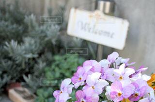 ビオラとラベンダーの庭の花壇の写真・画像素材[4437597]