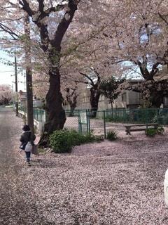 桜のピンクの絨毯の写真・画像素材[3719224]