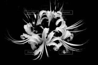 白彼岸花の写真・画像素材[3717481]
