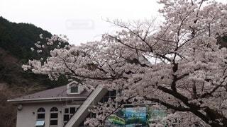 満開の桜の写真・画像素材[4279549]