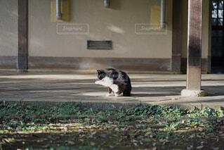 毛繕いをする猫の写真・画像素材[4377339]