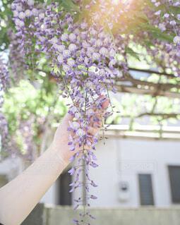 藤の花と女性の手の写真・画像素材[4391833]