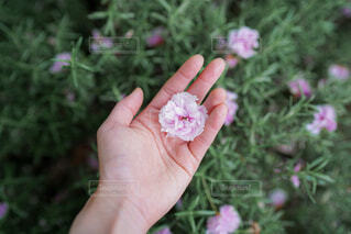 桜を持つ女性の手の写真・画像素材[4410201]