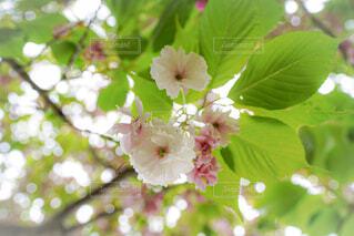 山桜のクローズアップの写真・画像素材[4410207]
