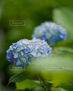 紫陽花のクローズアップの写真・画像素材[4445068]