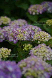 紫陽花のクローズアップの写真・画像素材[4445070]