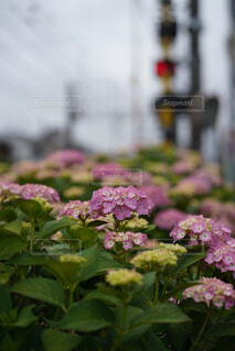 紫陽花と踏切の写真・画像素材[4445071]