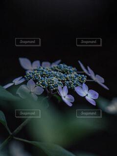 紫のあじさいの写真・画像素材[4445069]
