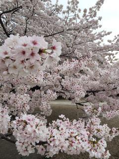 桜 - No.316491