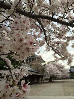 桜 - No.316492