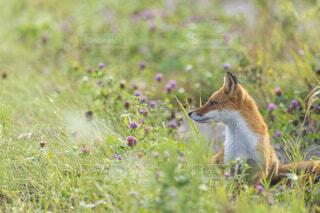 草原に位置するキツネの写真・画像素材[3795626]