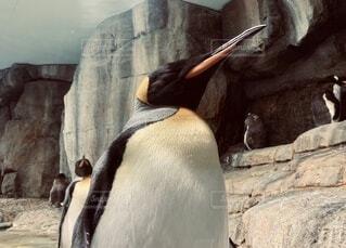 立って眠るペンギンの写真・画像素材[3729957]