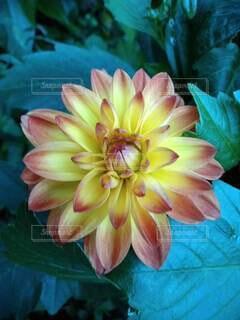 花のクローズアップ ダリアの写真・画像素材[3738091]
