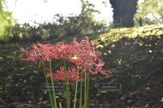 公園に咲く彼岸花の写真・画像素材[3823106]
