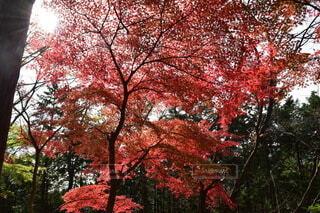 御岳山の紅葉の写真・画像素材[3836135]