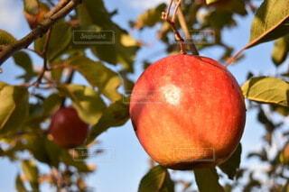 枝からぶら下がっているリンゴの写真・画像素材[3911055]