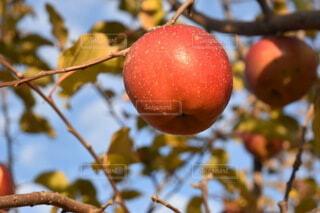 枝からぶら下がっているリンゴの写真・画像素材[3911369]
