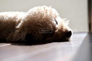 横たわる犬のクローズアップの写真・画像素材[3740205]